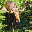 Moose — Stock Photo #16249861
