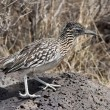Greater Roadrunner — Stock Photo