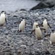 Chinstrap pinguins — 图库照片