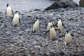 Chinstrap pinguins — Stock Photo