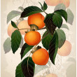 Illustration of a mature persimmon on a branch. — Stock Vector