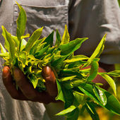 Tea leaves — Foto de Stock