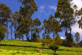 People collect tea — Stock Photo