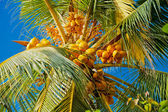 Coconuts on the palm tree — Stock Photo