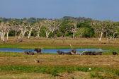 Yala national park in Sri Lanka — Stock Photo