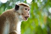 Monkey close-up — Stock Photo