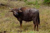 Water Buffalo in wild nature — Foto de Stock