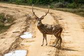 Hombre hermoso manchado ciervo parado en el camino — Foto de Stock