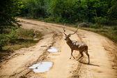 Vacker hane spotted rådjur stående på vägen — Stockfoto