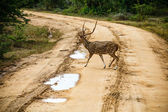 Beautiful male spotted deer standing on the road — Stock Photo