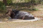 Water Buffalo in wild nature — Stok fotoğraf