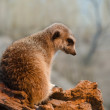 Stock Photo: Meerkat in Woodland Zoo sitting on piece of drywood