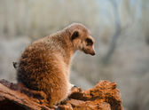 Meerkat in Woodland Zoo sitting on a piece of drywood — Stock Photo