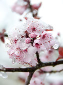 Rich cherry blossom under snow - 2 — Stock Photo