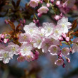 Bright light on blooming sakura — Stock Photo