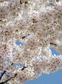 Heap of sakura flowers in sky — Stock Photo