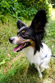Profile portrait of a sitting papillon — Stock Photo
