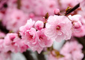 Nice visual angle at a tree  branch covered by developed cherry  — Stock Photo