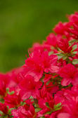 Crimson azalea blooming branch in front of a lawn — Stock Photo