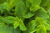 Close-up photo of fresh mint leaves — Stock Photo
