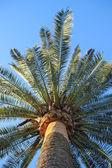 Branches de palmier grand sur ciel bleu — Photo