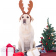 Stock Photo: Dog in reindeer horns and christmas tree isolated on white