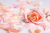 Różowe płatki róż na białym tle — Zdjęcie stockowe