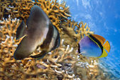 Spadefish in the Red Sea — Stock Photo