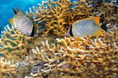 Chevron butterflyfish in Red Sea — Stock Photo