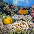 Tropical Fish on Coral Reef in the Red Sea — Stock Photo #32578097