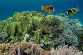 Anemonefish na podmořské korálové útesy — Stock fotografie