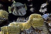 Giant pufferfish — Stock Photo