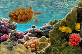 Turtle. (Green Sea Turtle - Chelonia mydas) — Stockfoto