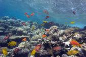 Hard coral and Sulfur damsel — Stock Photo