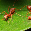 Stock Photo: Ant group