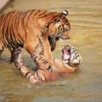 Tiger — Stock Photo #39737243