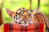 Tiger sleep — Stock Photo