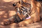 タイガー — ストック写真