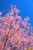 Wild Himalayan Cherry flower — Stock Photo