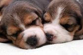 Beagle puppies — Stock Photo
