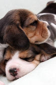 Beagle puppies — Stock Photo