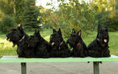 Scottish terriers — Stock Photo