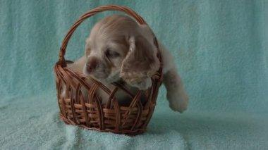 Puppy American Cocker Spaniel — Stock Video