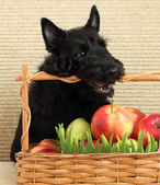 Scottish terrier with apple — Stock Photo
