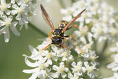 Wasp closeup — Stock Photo