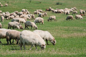 Flock of sheep grazing — Stockfoto