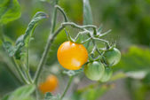 Plantas de tomate — Foto de Stock