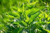 新鮮な緑のイラクサ — ストック写真