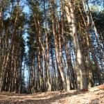 Forest - winter sunlight — Foto Stock