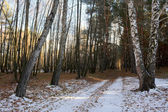 Bosque de abedul — Foto de Stock
